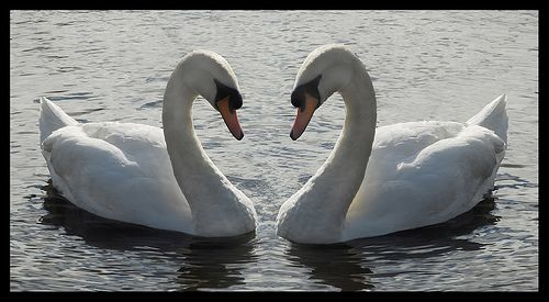 Two floating swans facing each other symmetrically