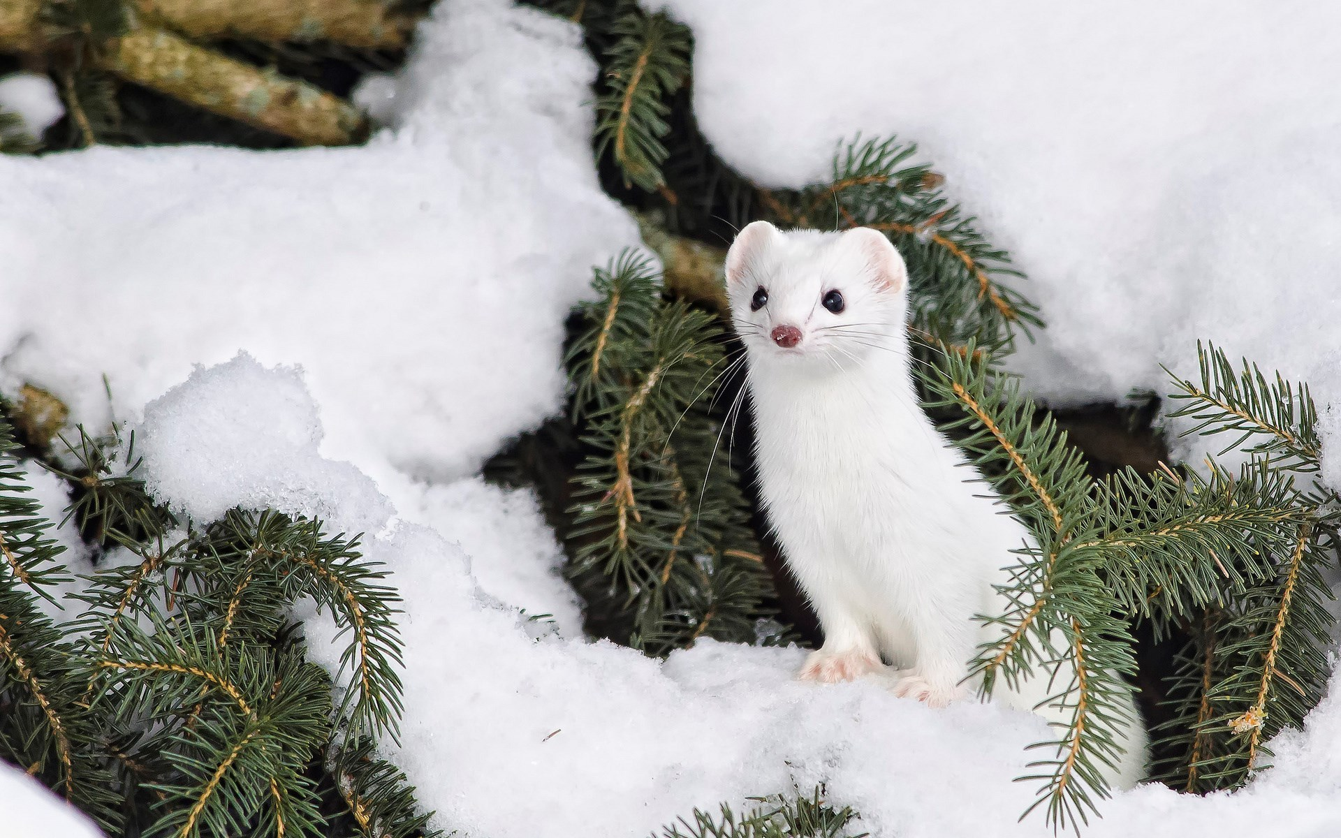 White stoat among pine tree branches in snowy environment.